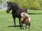 A big horse walking alongside a miniature horse.