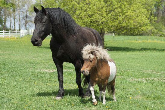 A big horse walking alongside a miniature horse.