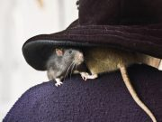 A couple rats rest on a woman's shoulder, under a witch hat