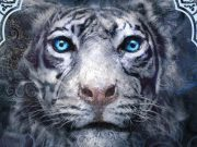 A close up of a white tiger with blue eyes