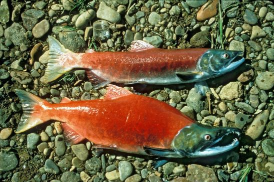 Two salmon resting on the bottom of a river.