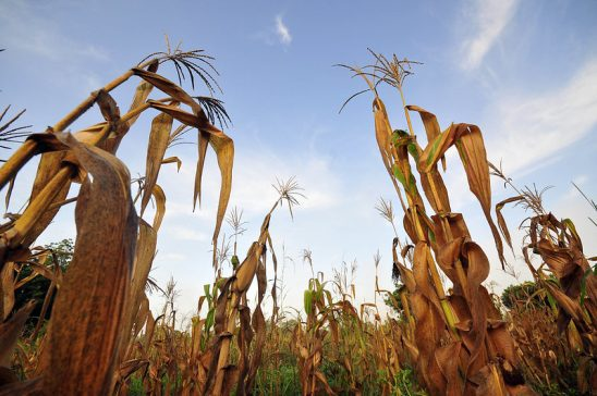Maize plants dying in the field.